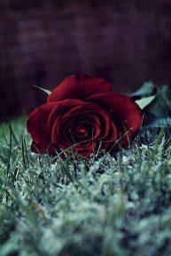 Mawar di Persimpangan Jalan